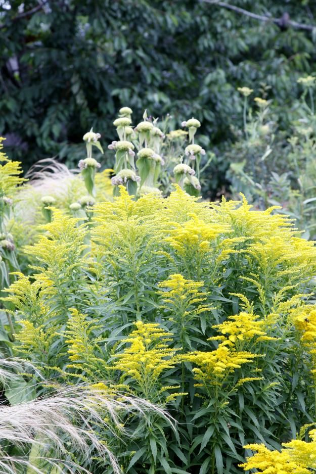 Goldenrod (Solidago canadensis) and Phlomis