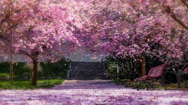 Cherry Blossom Festival In Shillong Romantic Places Most Romantic Places Cherry Blossom Festival