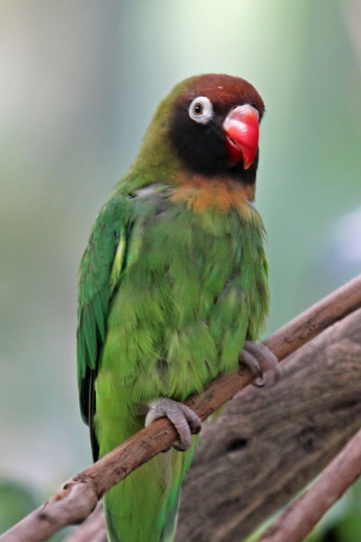 108 best african parrots images on pinterest animals beautiful