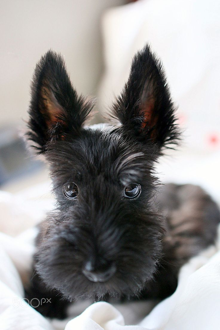 Scottish Terrier Puppy at 3months Old...
