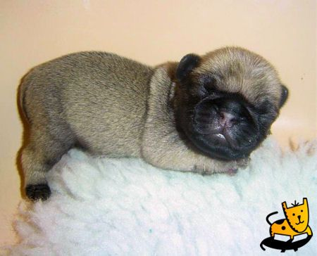 little baby pug! way too cute