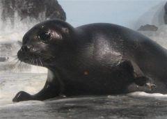 香川県高松市の水族館新屋島水族館にロシアからバイカルアザラシの赤ちゃんがやってきたよ 一般公開されていてエサを食べる姿が人気を集めているんだって いま名前を募集しているらしいから素敵な名前をつけてあげてね tags[香川県]