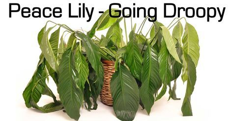 Peace Lily care questions, we get all kinds. Answers to Spathiphyllum you will not find on the plant tags or at most local garden centers. [LEARN MORE] #spr #sum