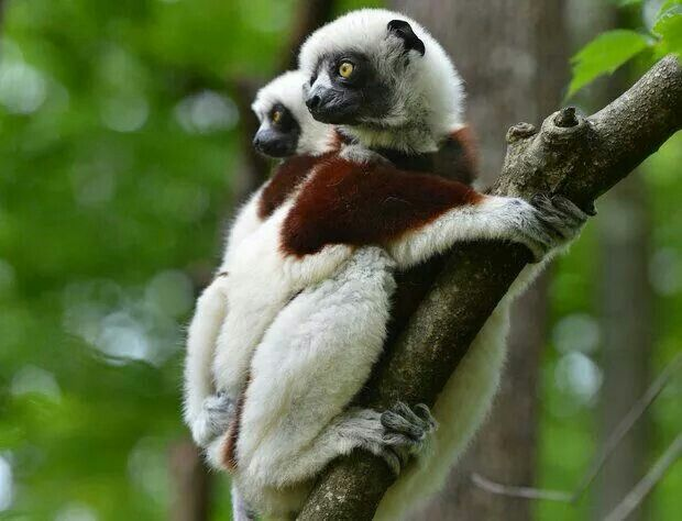 2 of only 103 Lemurs of this type known.