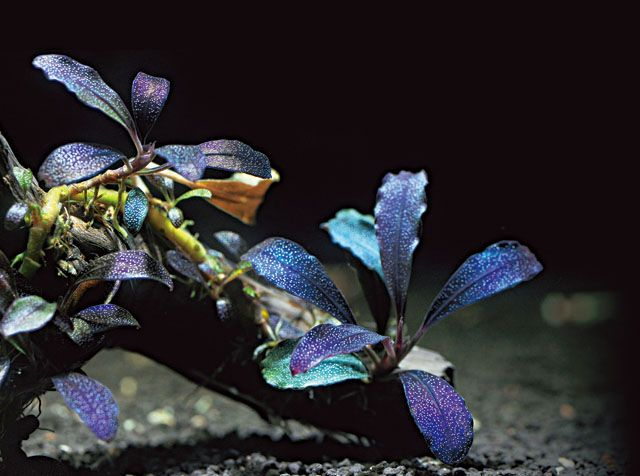 Картинки по запросу Bucephalandra sp. Brownie Purple-фото