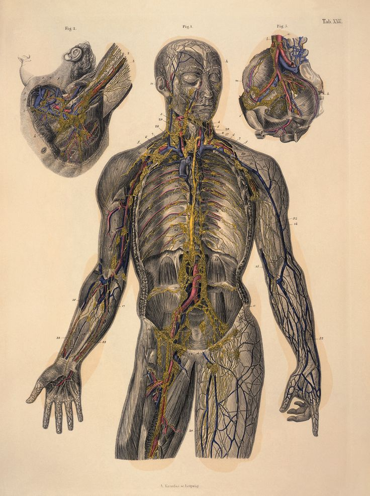 Thoracic duct, Lymphatic Vessels and Glands by C. E. Bock, 1879