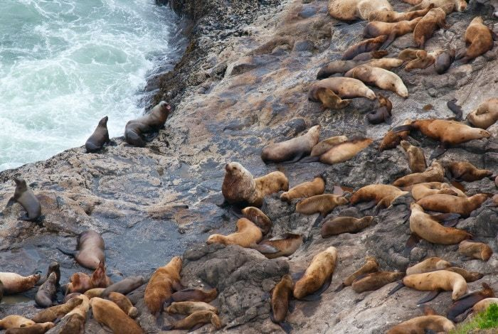 There are many places along Oregon's 363-mile coastline where you are can see seals or sea lions in natural settings or in developed harbor areas. Simpson Reef off Cape Arago southwest of Coos Bay and the area around Sea Lion Caves north of Florence are among the most accessible and dependable areas for spotting Pinnipeds,…