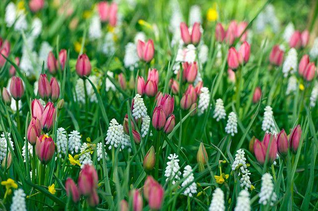 Witte Druifjes met roze tulpen, mooie mix!