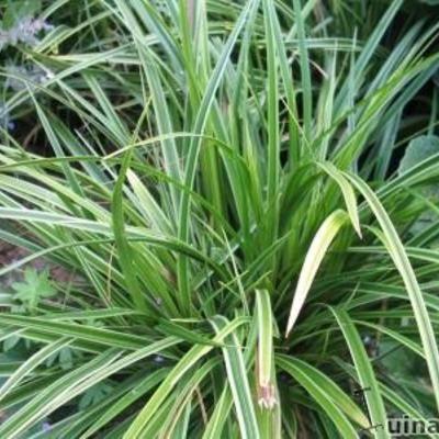 Les 25 meilleures idées de la catégorie Carex sur Pinterest - carex bronze reflection