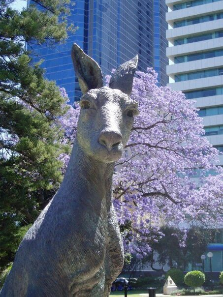 Kangaroo and Jacaranda tree, Perth, Australia