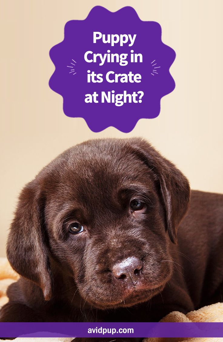 Puppy Crying In Its Crate At Night Will It Ever Stop Labrador