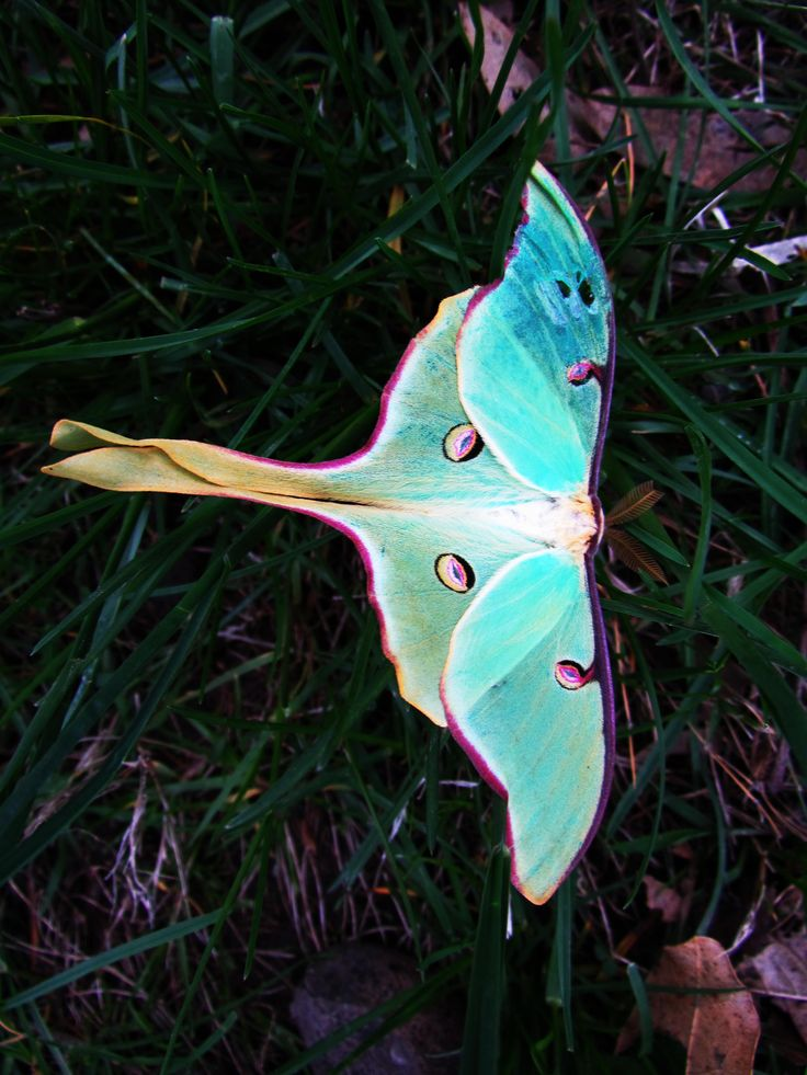 My love for the Luna Moth is endless ~ a dear animal totem of mine ~ such a gift to have luna moth visit.