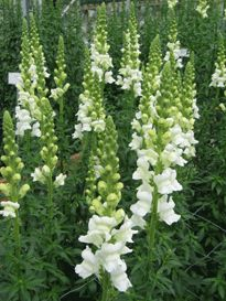 white snapdragons - Google Search