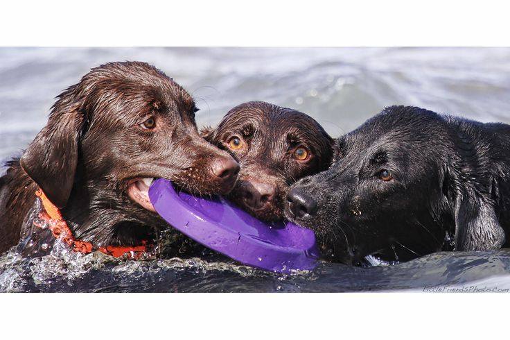 team work: Friends Games, Dogs Blessed, Friends Photo, Pet, Loooov Labrador, Water Dogs, Seth Casteel, Littlefriendsphoto Com Seth, Water Labs