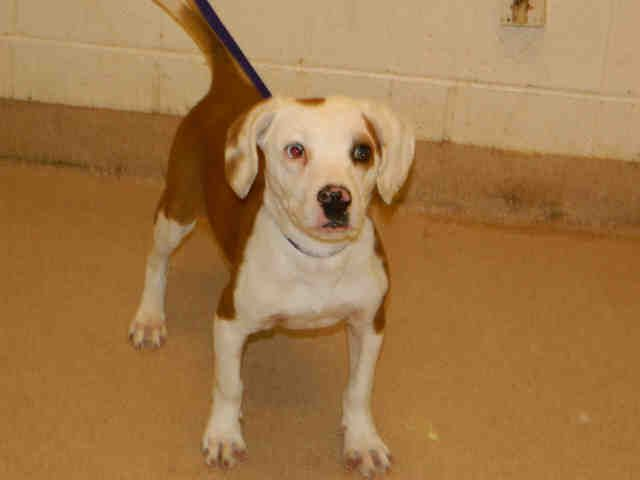 #SCAROLINA ~ Chester ID A062266 is a Neutered 7mos Beagle #puppy in need of a loving #adopter / #rescue at YORK COUNTY ANIMAL CONTROL 713 Justice Blvd  #York SC 29745 Ph 803-628-3190