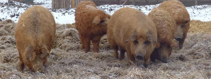 Mangalica varkens een culinaire sensatie.