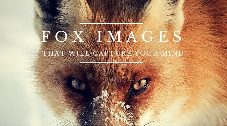 The foxes are well known for their cunning nature, and this is predicted by watching the way they attack their prey. Despite their active behavior, their differed fur color, triangular face, furry …  #photography #fox #animals