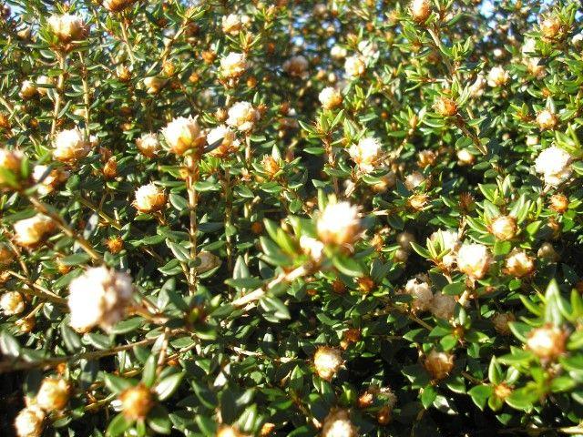 Stenanthemum White Mischief --- For more Australian native plants visit austraflora.com