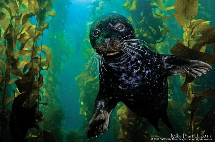Diving with seals in California.