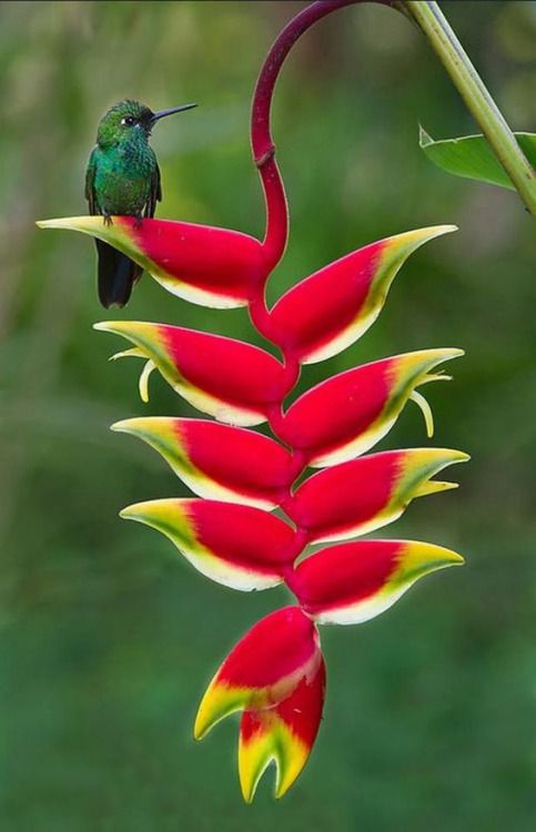 Hummingbird on a tropical Hellaconium.