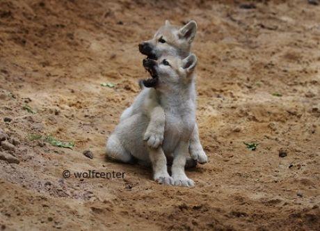 Wolf, agressive Wölfe, Dala Kimo, Imponierverhalten, Demut, Polarwolf, Polarwölfe, Wolfwelpen, Welpen spielen im Sand, Geschwisterliebe, großer Bruder umarmt kleine Schwester, Hudson-Bay-Wölfe in Deutschland, riesige Pfoten