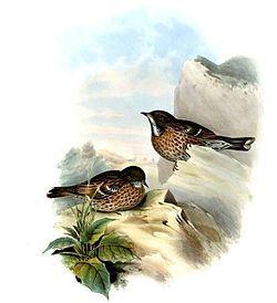 El acentor del Himalaya2 (Prunella himalayana) es una especie de ave paseriforme de la familia Prunellidae.3 Está ampliamente distribuido en Asia, encontrándose en las montañas de Asia Central hasta Afganistán, el sur del Tibet y el noroeste de India.3 No se reconocen subespecies.3