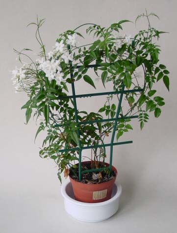 """The Glorious Jasmine"" from OurHousePlants.com"