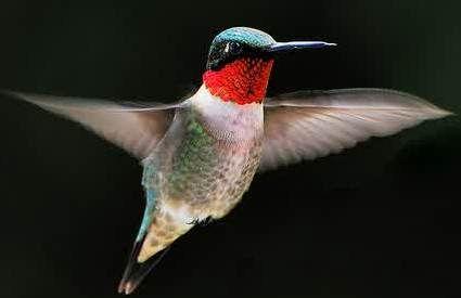 Burung kolibri mempunyai nama lain hummingbird,