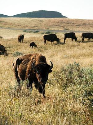Bison Badlands of North Dakota