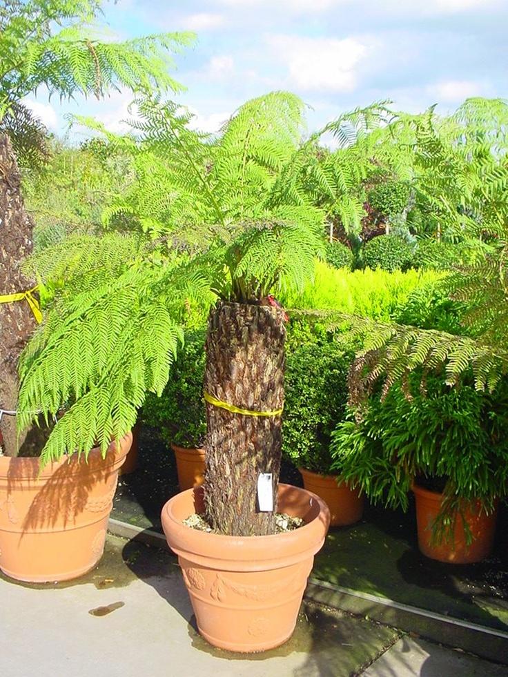 Dicksonia antartica / Baumfarn - Exklusiver Farn aus Australien - kann bis zu 400 Jahre alt werden -
