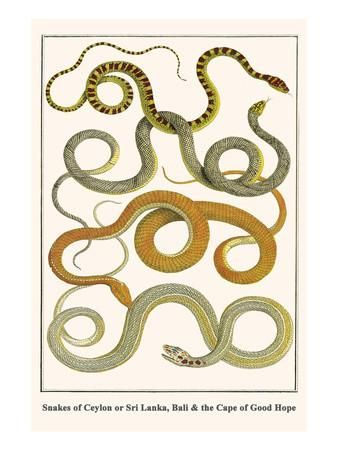 Snakes of Ceylon or Sri Lanka, Bali and the Cape of Good Hope Art Print by Albertus Seba at Art.com