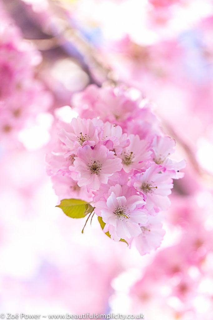 Powder Pink Puffs Of Cherry Blossom Cherry Blossom Tree Sakura Cherry Blossom Cherry Blossom