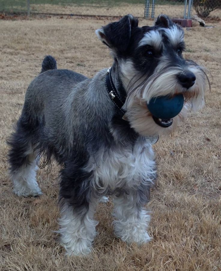 What a sweet little schnauzer!                                                                                                                                                                                 More
