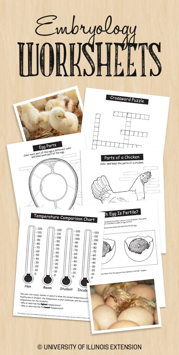 Great resource for teachers! Have chicks in the classroom? Here are embryology worksheets and answer keys from the University of Illinois Incubation and Embryology Project