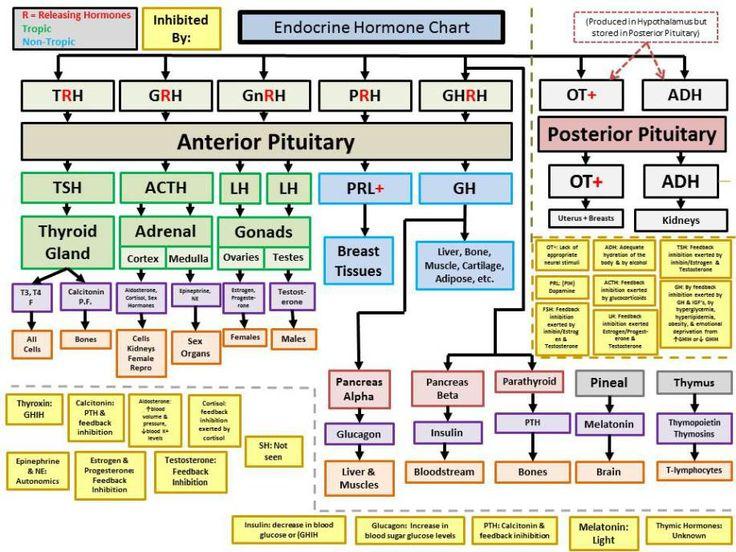 Endocrine Hormones Flow Chart Manual Guide