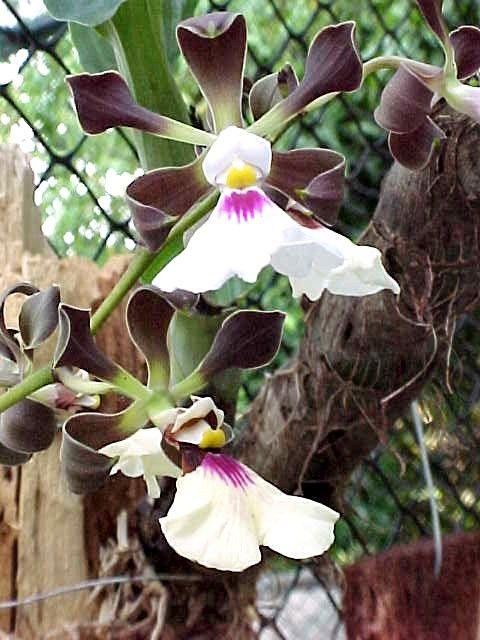 Orquidea de los páramos andinos                                                                                                                                                                                 Más