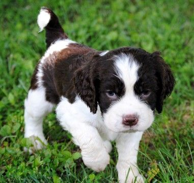 English Springer Spaniel puppy for sale in SIMPSONVILLE, SC. ADN-34305 on PuppyFinder.com Gender: Male. Age: 8 Weeks Old