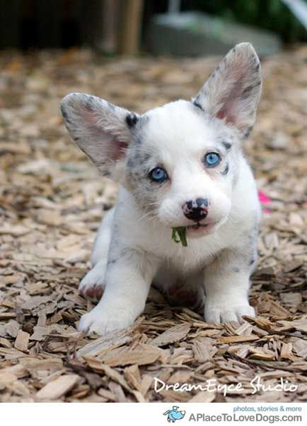big eared, blue eyed • from  APlaceToLoveDogs....