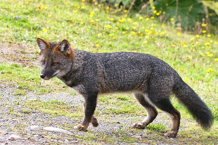 13 best darwins foxes images on pinterest foxes fox