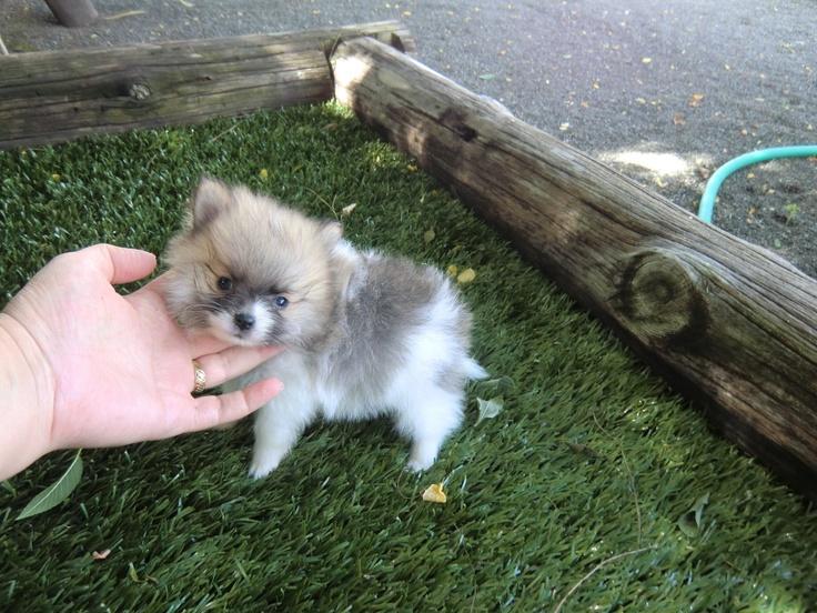 Mini Pomerania - Criadero Cantillana