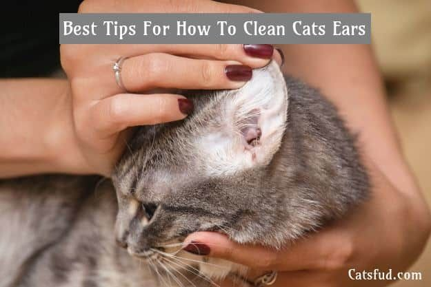 Best Tips For How To Clean Cats Ears In Easy Way Catsfud Clean Cat Ears Cat Grooming Cat Ears