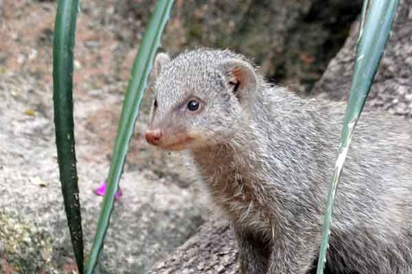 mangusto tigrado zooparque itatiba