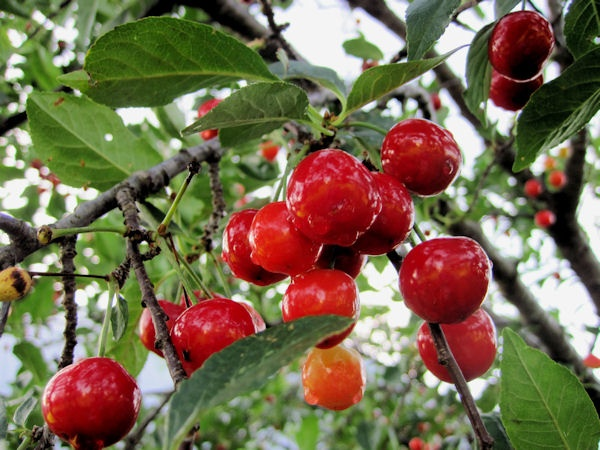 u of mn cherry trees 214 best images about 2012 loki s garden plants on