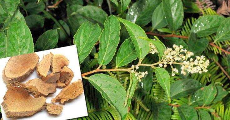 Это удивительное растение способно убить рак за 40 дней!