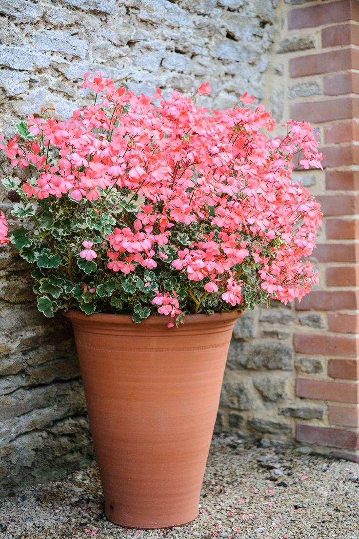 Best 25 Geraniums Ideas On Pinterest Caring For Geraniums Geranium Care And Fertilizer For