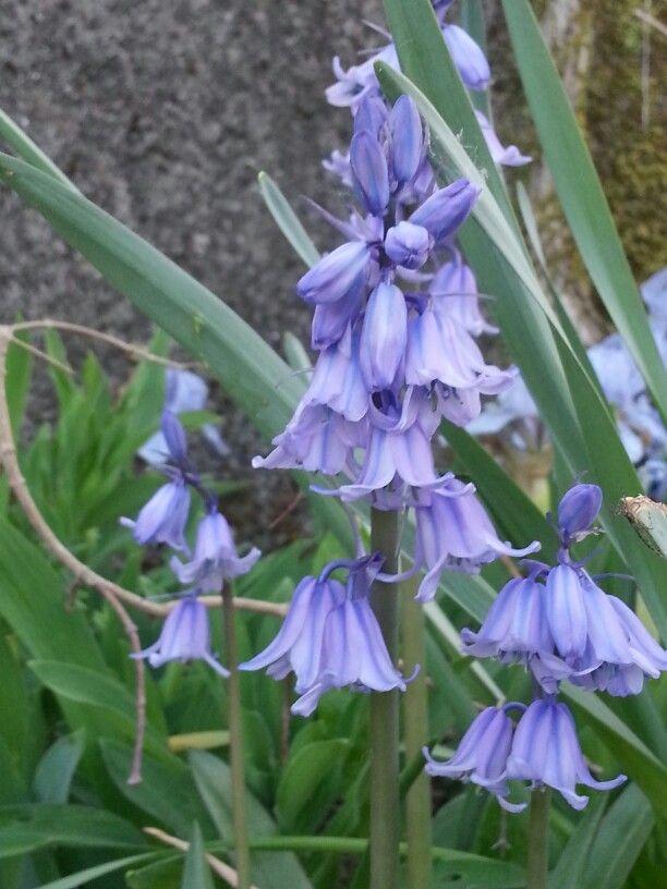 Clochettes violettes
