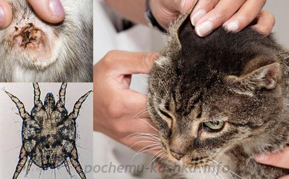 Клещи в ушах у кошек – это не просто вредители, которые травмируют чувствительную кожу ушной раковины. Паразиты вызывают серьезное заболевание, именуемое отодектозом, которое в особо тяжелых случаях может привести к гибели животного. Ушной клещ у кошек: этапы болезни - сначала клещи травмируют кожу механическим путем, а также раздражают нервные окончания своими продуктами жизнедеятельности. - в …