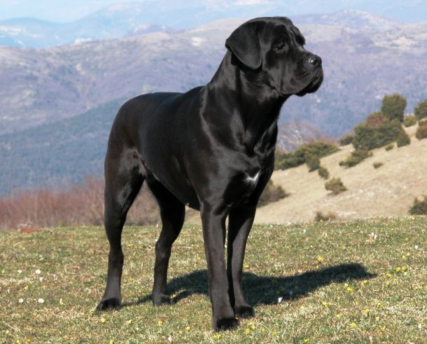 10 Of The World's Largest Dog Breeds - Page 10 of 11 - Bulletin Daily News - Bulletin Daily News