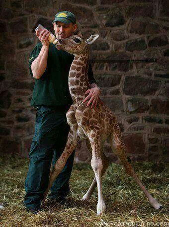 She is one of the smallest giraffes born at Chester Zoo, UK