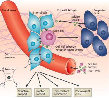 stem cells and regenerative medicine pdf